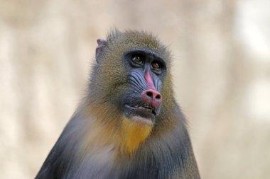 red mandrill monkey