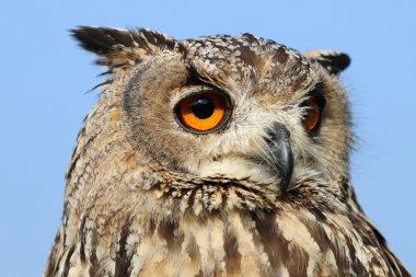 Indian eagle-owl bird