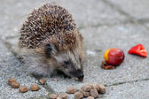 Young hedgehog eating