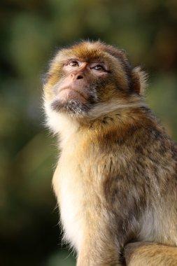 macaca sylvanus outdoors