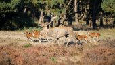 Mufflons und Hirsche zu Fuß im freien
