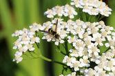 Fényképek Darázs, a fehér virág