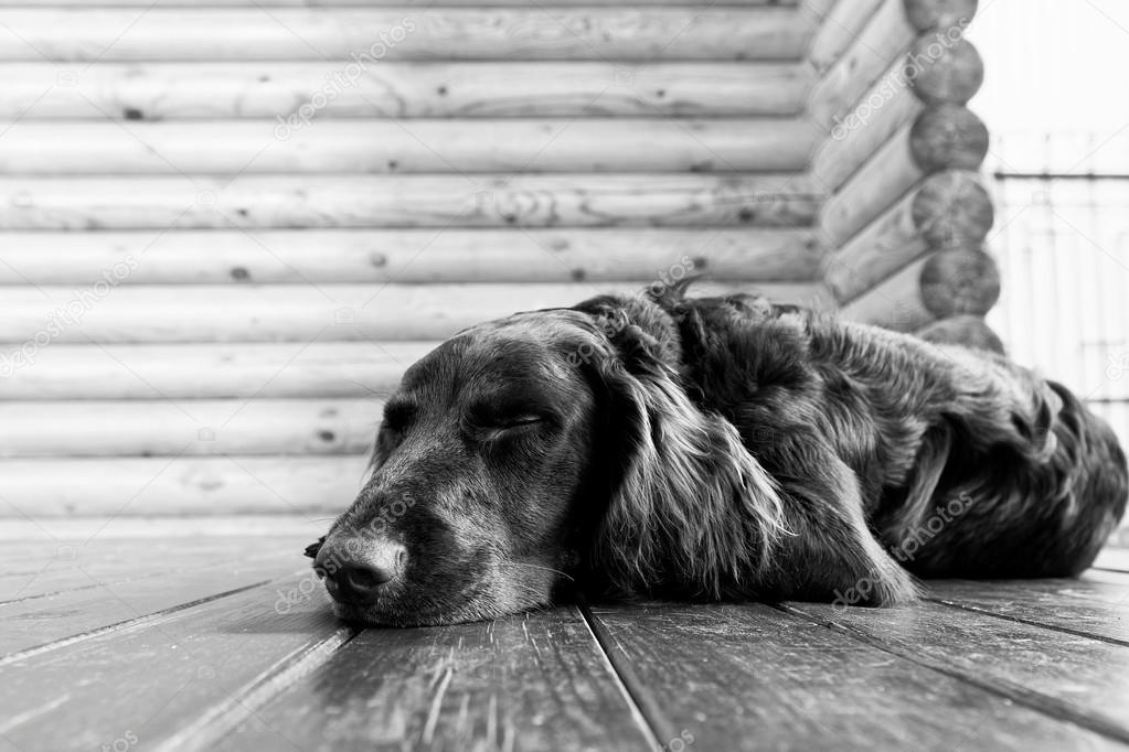 Dog asleep lying on the wooden floor