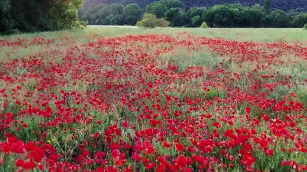 Poppy field in a cereal farmland. Navarre, Spain. Drone shot. 4K