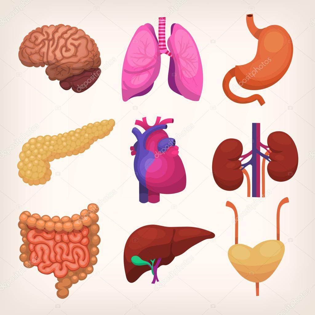 Conjunto de órganos del cuerpo humano — Vector de stock © snegok13 ...