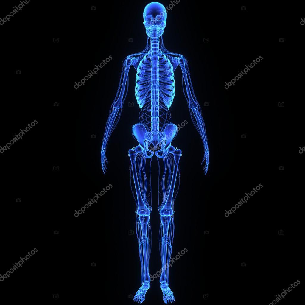 Esqueleto con nervios — Fotos de Stock © Edustock #61188751