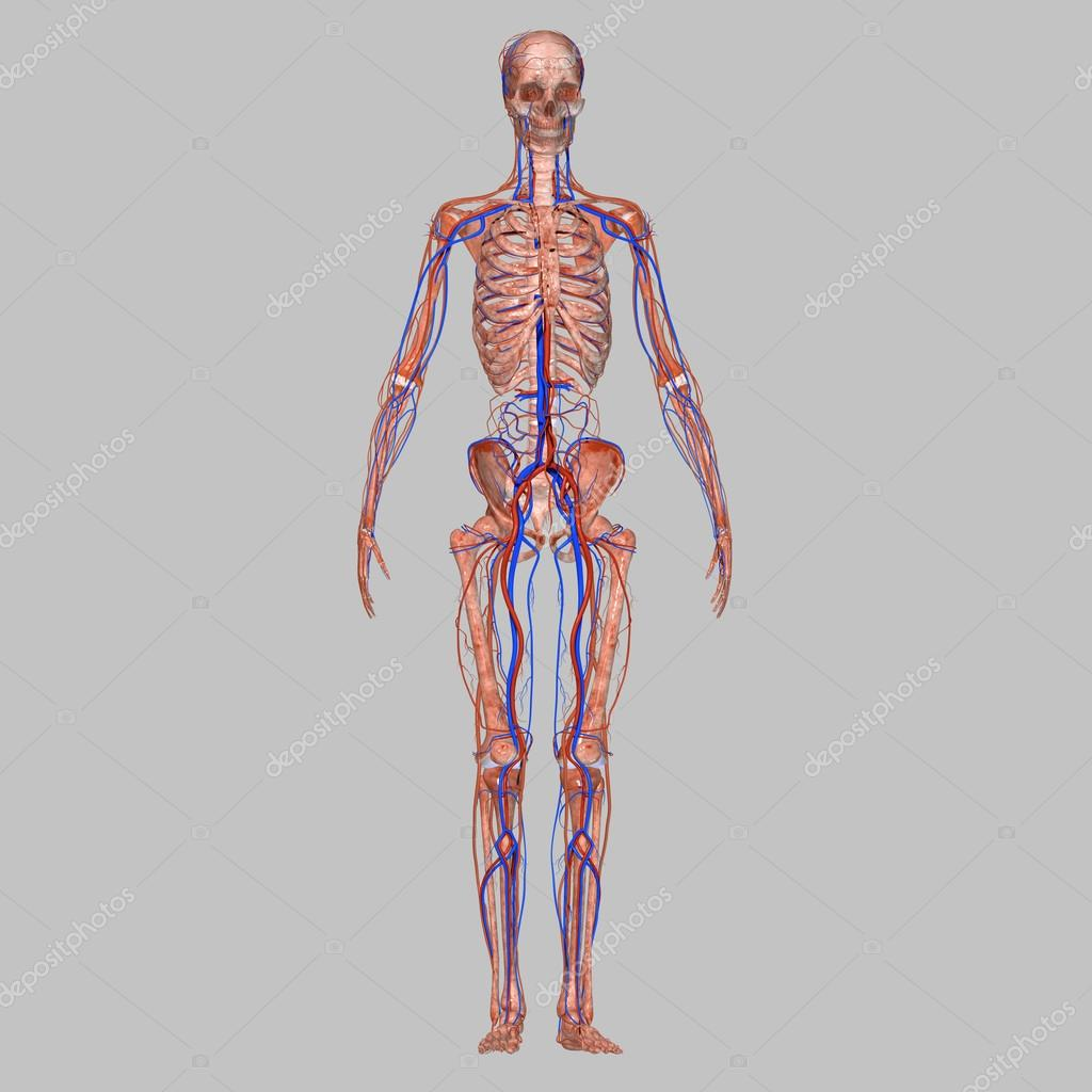 Skelett mit Nervensystem — Stockfoto © Edustock #64836589