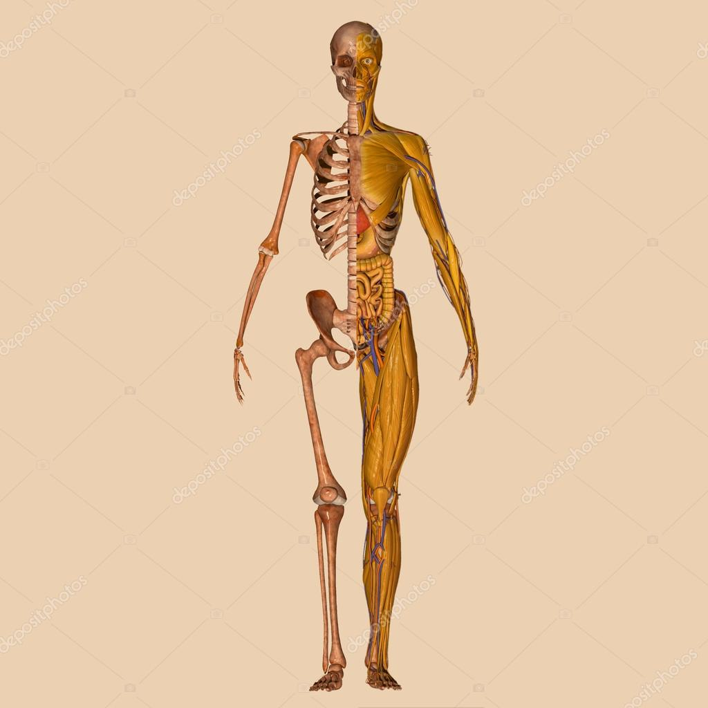 Human Anatomy Muscles Stock Photo Edustock 64837215