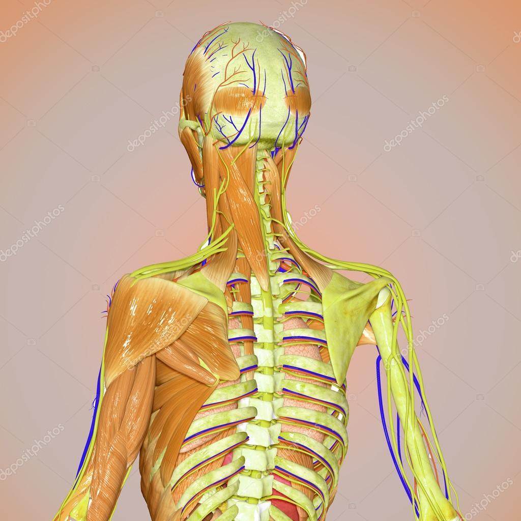 Músculos y esqueleto — Fotos de Stock © Edustock #65591367
