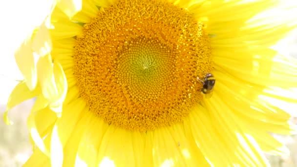 Detailní záběr slunečnice s včelkou