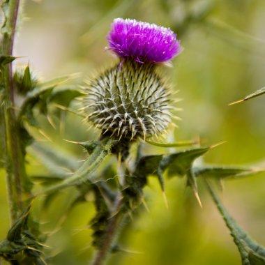 Milk thistle. Flowerhead. Flowering plant, scottish national flower