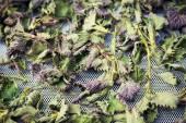 Sušené listy bio kopřivy, alternativní medicína koncept