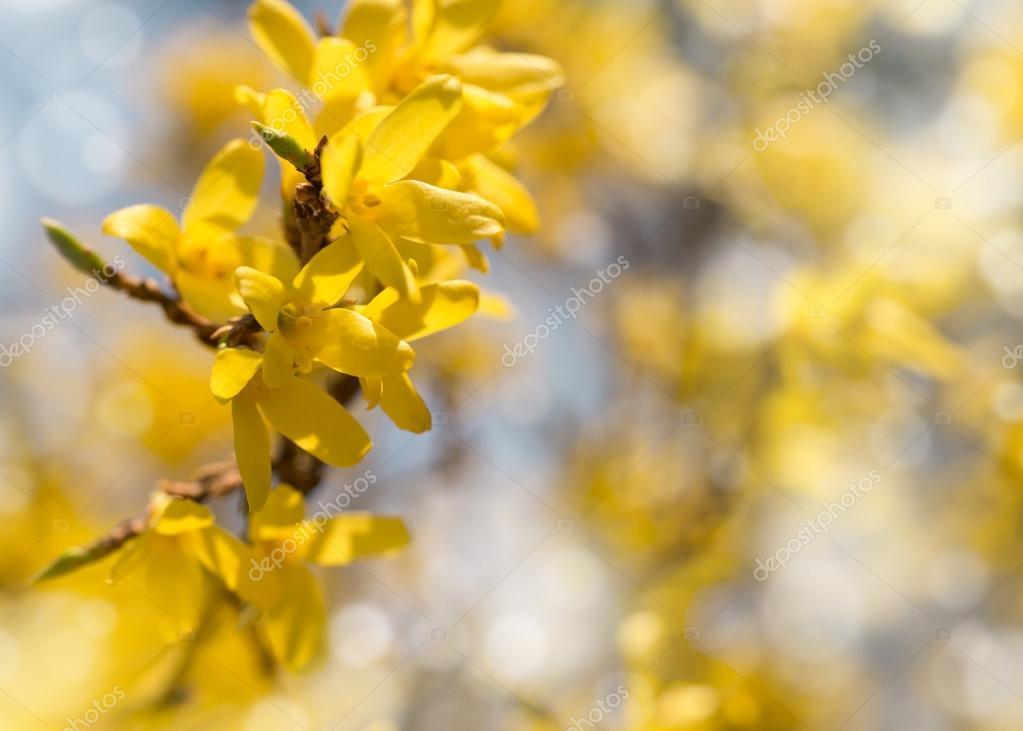 Fleur Forsythia Fond De Printemps Avec Des Branches D Arbre De