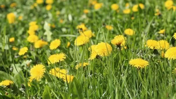 Jarní pole s žlutými květy pampelišky