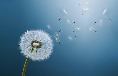 Dandelion on blue background