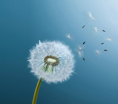 Dandelion on blue background