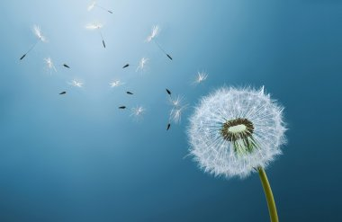 Dandelion over blue background