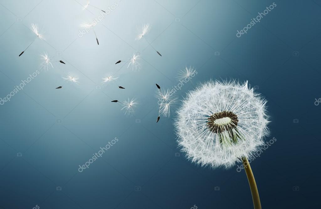 Dandelion over blue background