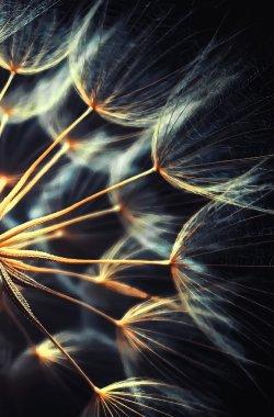glod dandelion