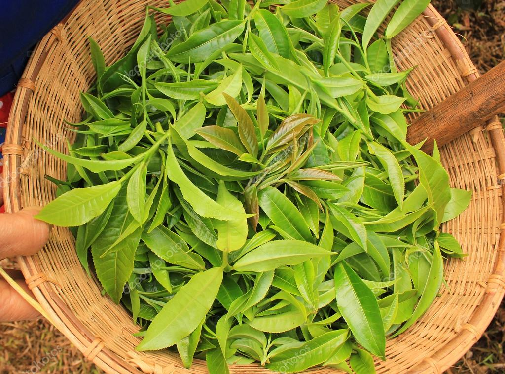 Fresh Tea Leaves in the basket.