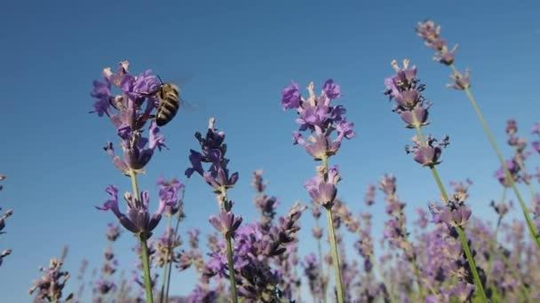 včela sbírá nektar