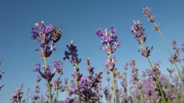 Bee sammelt Nektar