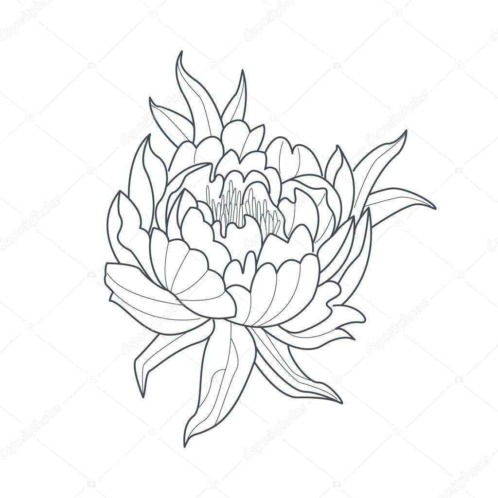 Peony Flower Line Drawing : Пион цветок монохромный рисунок для раскраски книга