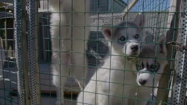 Cute Puppies of Siberian Husky Awaits Owner