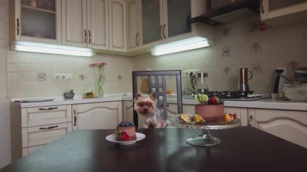 Malý pes sedí na židli a dívá se na stůl s lahodným dortem