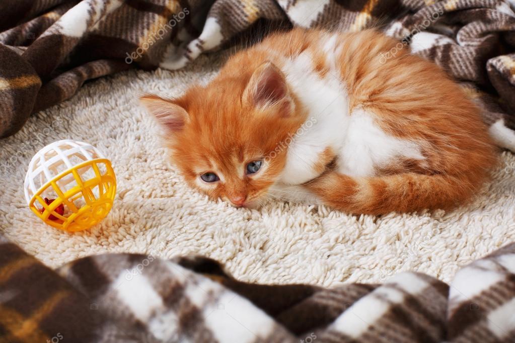 Red orange kitten at blue wood