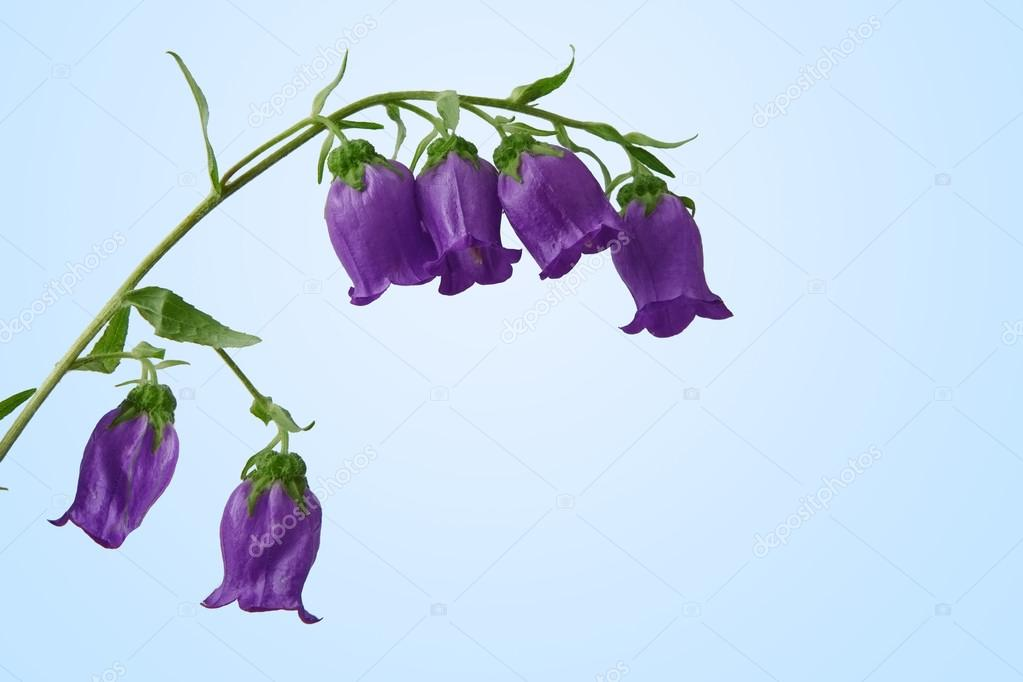 Campanula, bellflower flower closeup