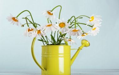 Beautiful daisies bouquet in green watering can at blue background. Flower in vase. Natural camomile closeup. stock vector