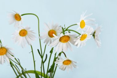 Beautiful daisies bouquet at blue background