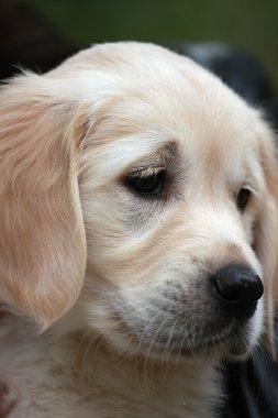 Close-up portrait of sad puppy labrador