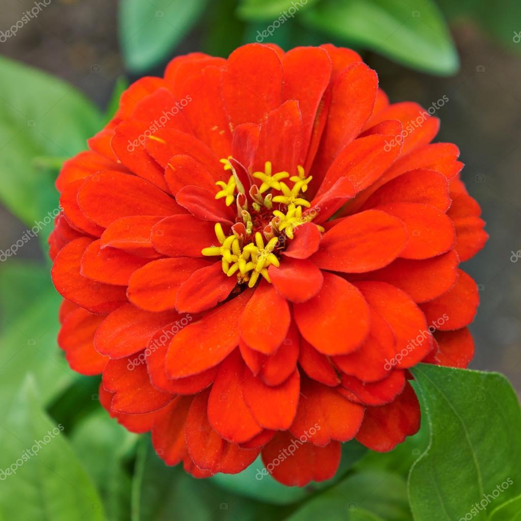 Beautiful Bright Flowers Tsiniya Stock Photo Marynka 76031001
