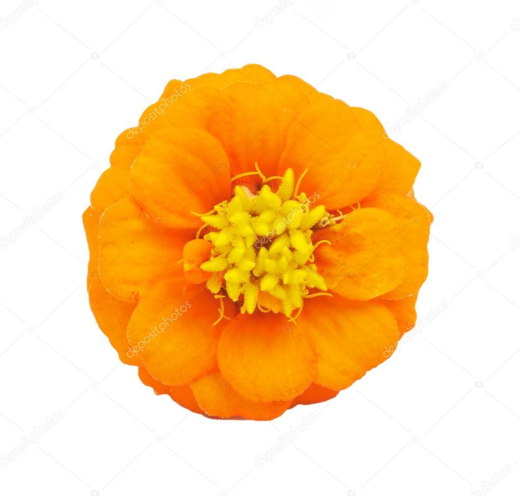 Beautiful Bright Flowers Tsiniya Isolated Stock Photo Marynka