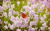 Fotografie motýl na květy levandule