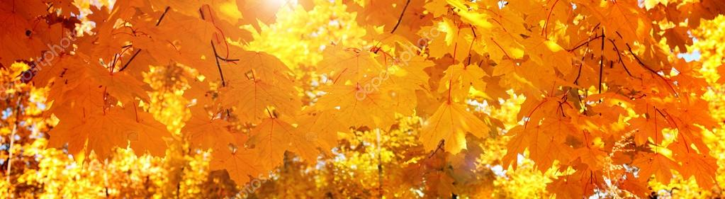 Yellow autumn maple leaves - banner, panoroma