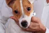 Veterinární péče. Pes trpící alergií na ambrózie. Psí oči infekce