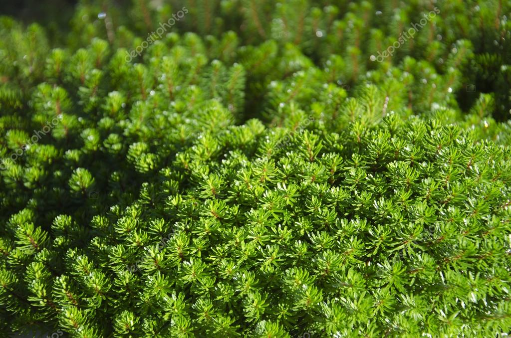 Hydrilla Verticillata Stok Foto Hydrilla Verticillata Gambar Bebas Royalti Depositphotos