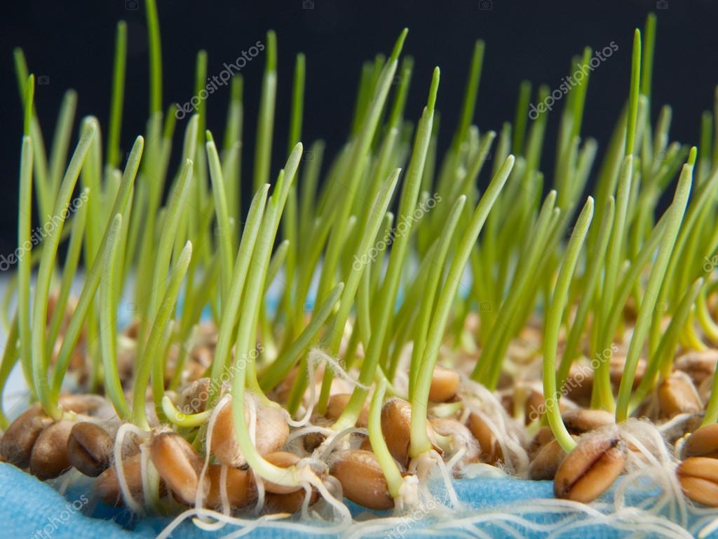 Картинки как прорастает зерно