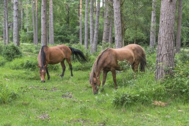 Wild ponies in New Forest National Park