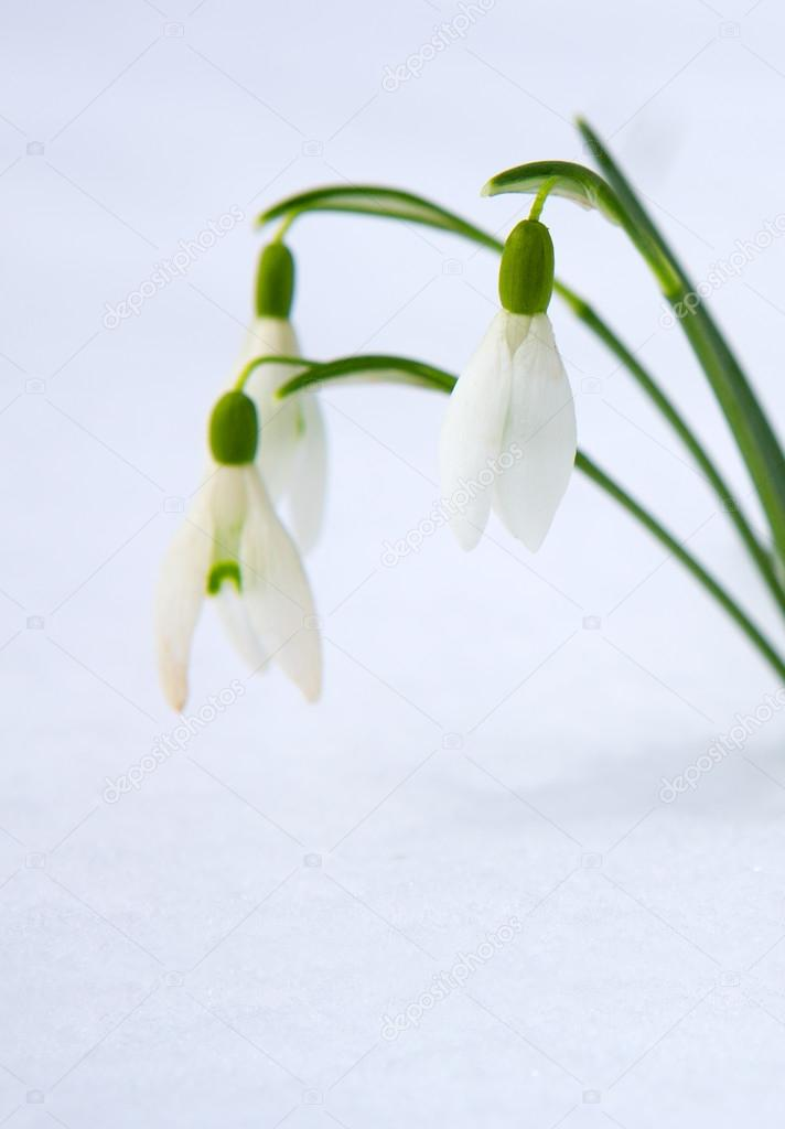 Schneeglockchen Fruhlingsblumen Mit Schnee Im Garten Stockfoto