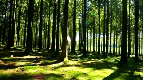 Luce solare attraverso la foresta di estate