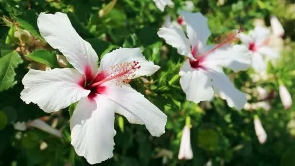 Két fehér Hibiszkusz virág