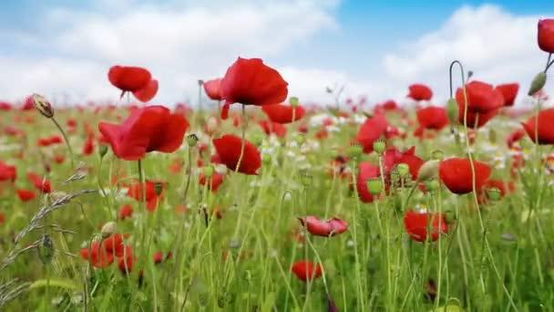 pole Rudého máku