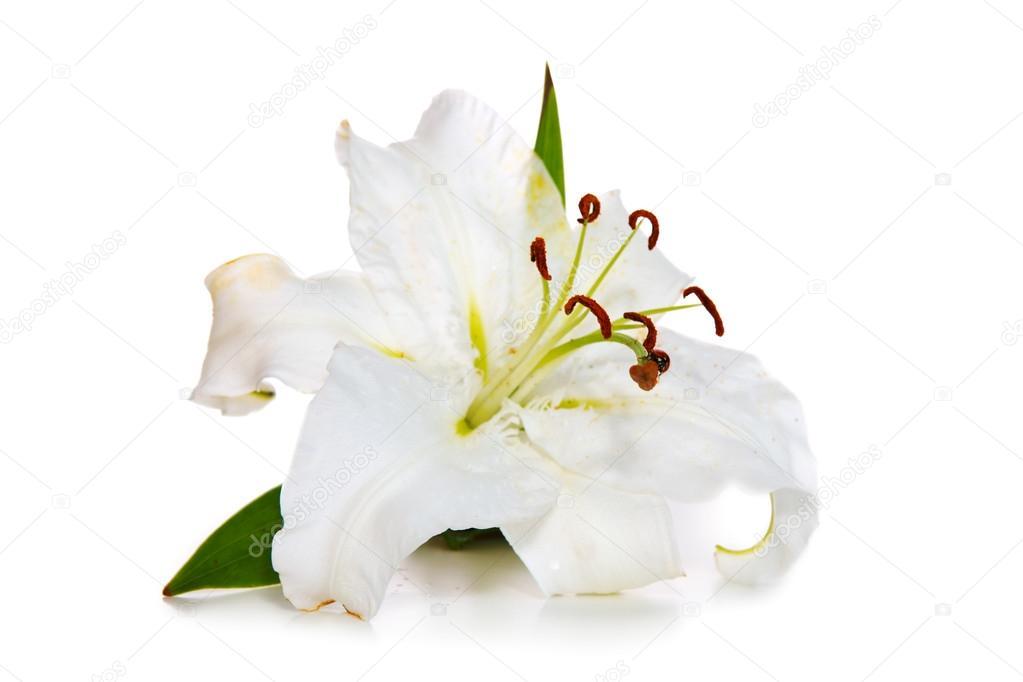 White Lily and ladybug isolated.