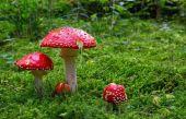 Fotografie Fliegenpilz im Wald