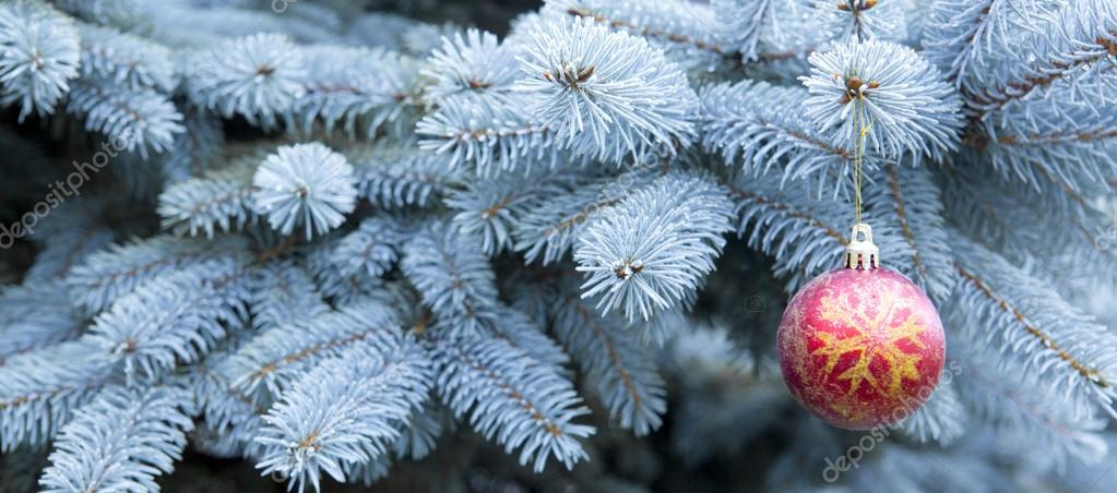 Blue Pine branches and red Christmas ball.