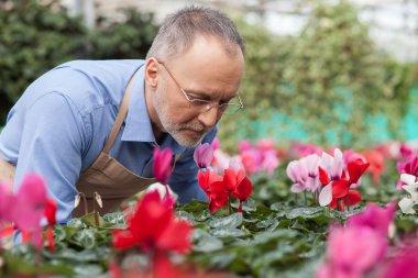Cheerful old gardener is working at plant nursery